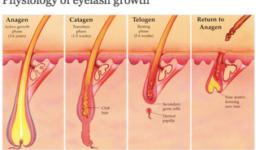 phsyiology of eyelashes